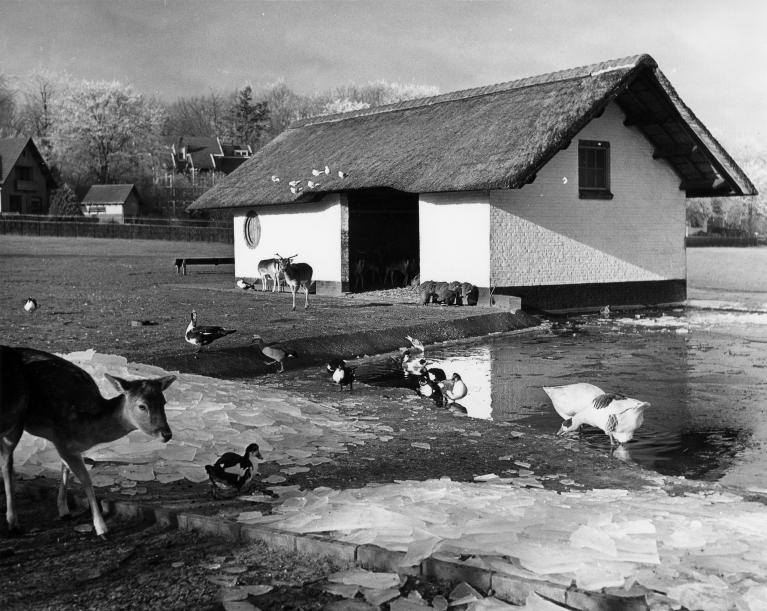 SAGV032.1+2921 Hoge Naarderweg huisnr(s) 205. voorheen Ceintuurbaan, stal van het hertenkamp met herten, architect Dudok 1/1/1957 Hilversum SAGV032.1 Fotocollectie dienst Publieke Werken gemeente Hilversum